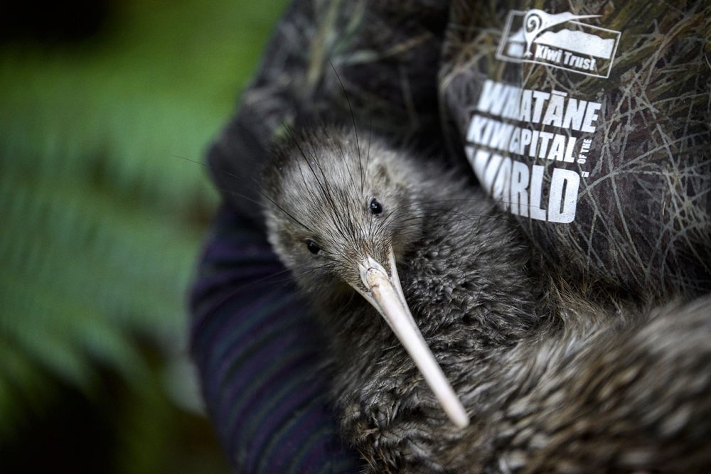 Conservation sparks new tourism experience in Bay of Plenty: Whakatāne's Kiwi Wandering Trail