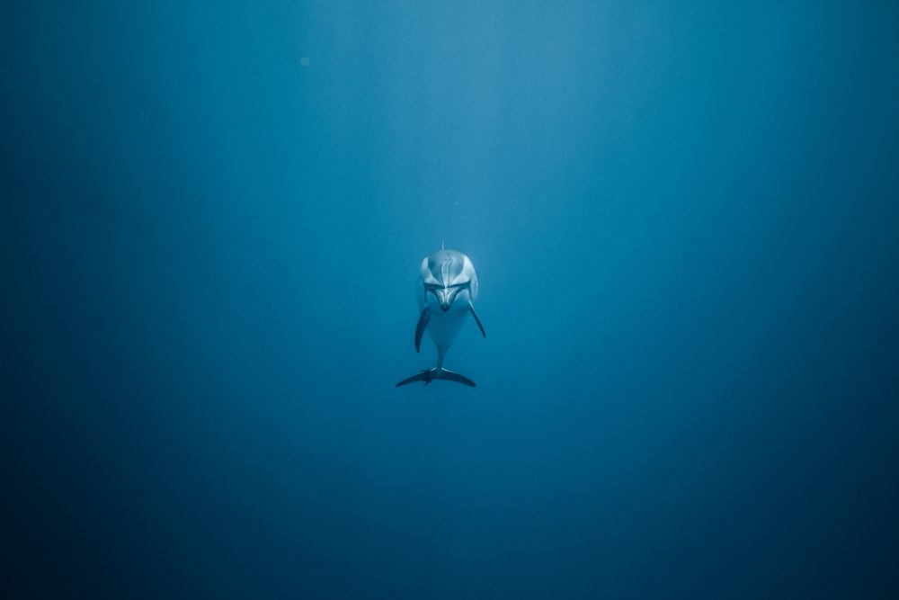 Dolphin, Jeremy Bishop, Unsplash